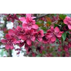 Декоративная яблоня Хелена краснолистная