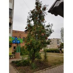Рябина Невежинская (Нежинская) 2-3 метра