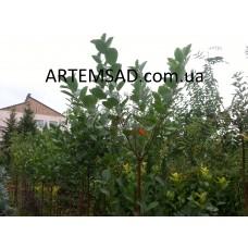 Черноплодная рябина на штамбе (арония)