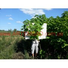Катальпа 5 лет (2-2,3 метра) крона на 5-7 веток