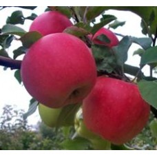 яблоня Дельбар Жубиле