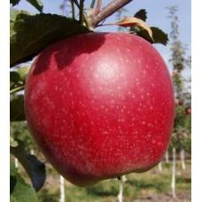 яблоня Бребурн