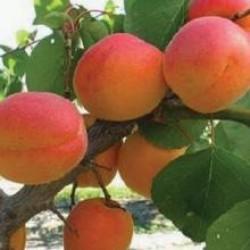 абрикос Эрли ред оранж