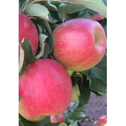 яблоня Мелба