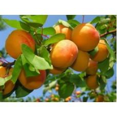 абрикос Морозоустойчивый